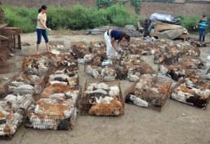 Thai cats1