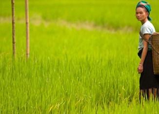 Vietnam lowers 2013 rice export target