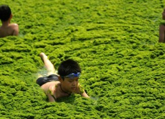 Yellow Sea turns green from algae disaster