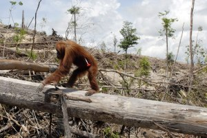 deforestationorangutan