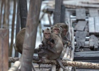 Thai village invaded by monkey army