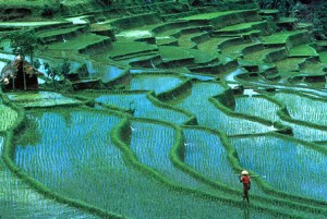 rice plantation1