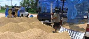 rice pledging