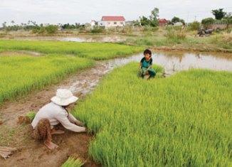 Siem Reap Rice Field