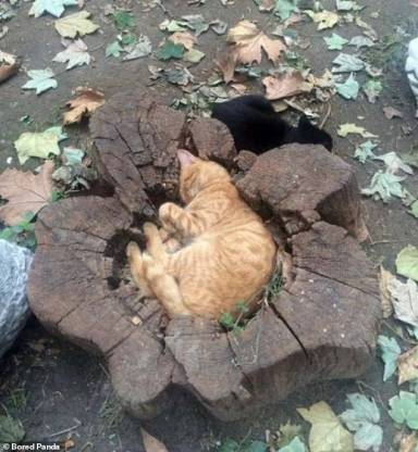 A cat curled up into a tree stump.