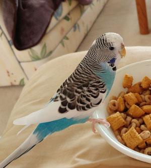 Biscuit Budgie