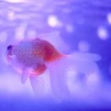 Ein Goldfisch schwimmt in blauem Wasser