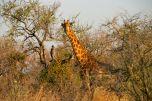 Giraffa al Madikwe game Reserve