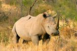 Rinoceronte bianco al Madikwe Game Reserve
