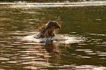 Ippopotamo nel fiume Zambesi - Cascate Vittoria Zimbabwe