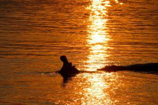 Ippopotamo sul fiume Zambezi - Victoria Falls