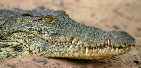 Coccodrillo al Parco Chobe in Botswana