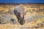 Rinoceronte sulla strada all'Etosha