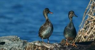 Piemonte uccelli acquatici