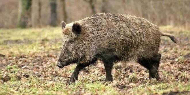Caccia cinghiale liguria Marche disciplinare regionale per la caccia al cinghiale caccia al cinghiale in Basilicata