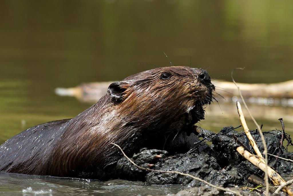 Beaver - Wedgewood Ravine Edmonton