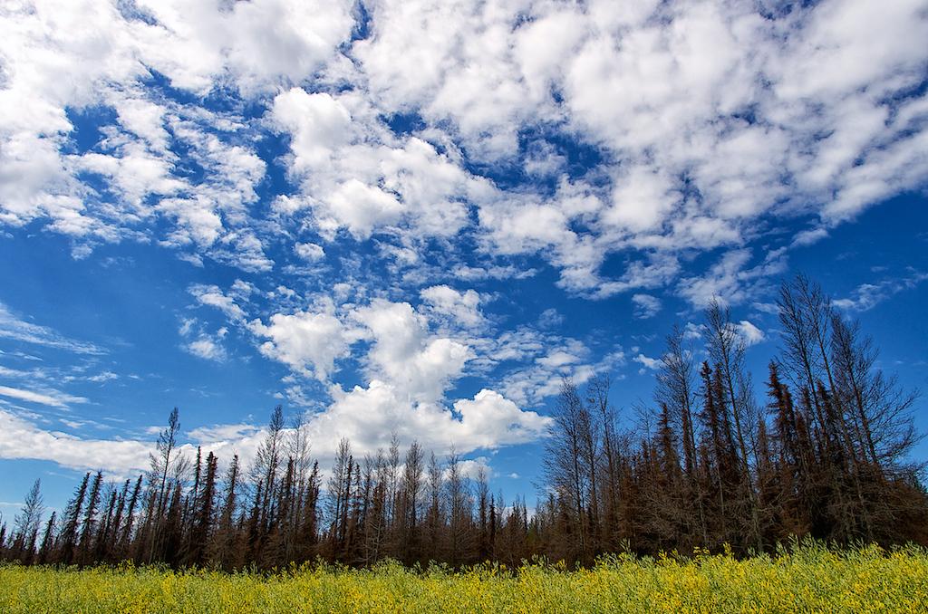 trees canola blue sky