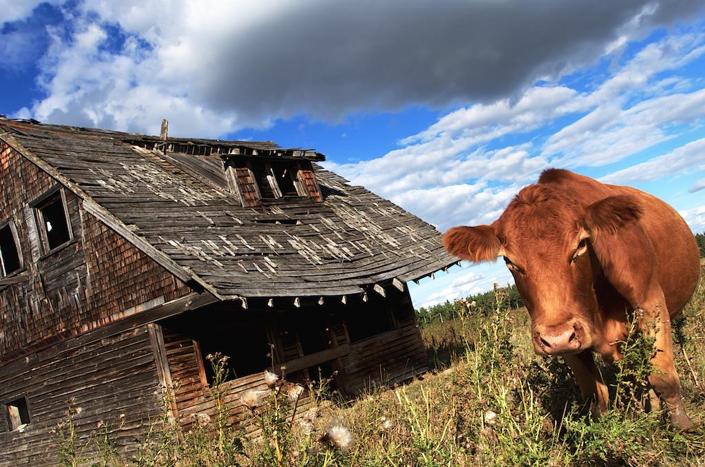 Cow Galdalf