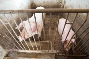 verri, melanzio, eumeo, odisseo, varrone, catone, carne suina, insaccati, macellazione maiale, sant'antonio maiale, cerere, demetra, divin porcello, porcus, sus, belloveso, scrofa semilanuta, porco, verro, maiale, suino, castrato, animale sacro immondo, benveniste, rogo sant'antonio, stemma treviglio