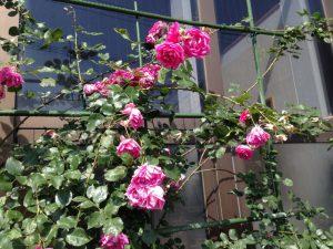 伊王島灯台のバラが咲き始めました4