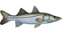 Daytona Snook Fishing