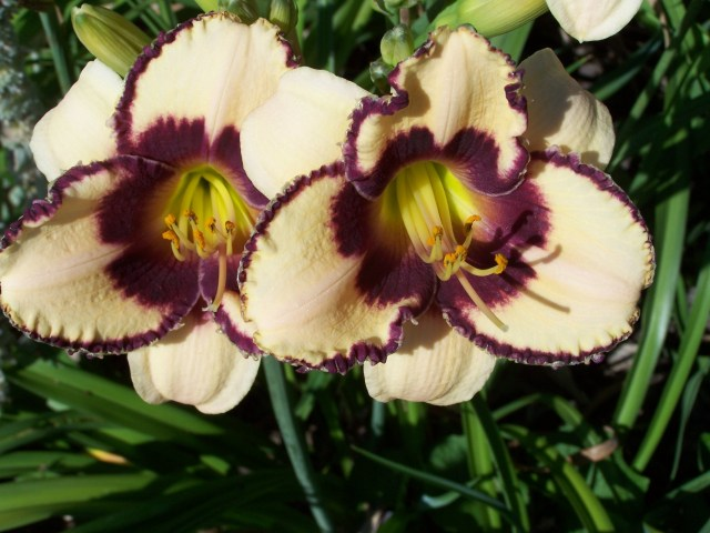 'Dream Legacy' Daylilies