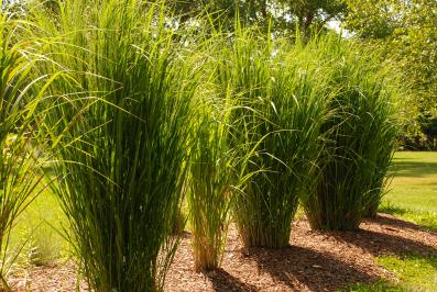 Panicum virgatum 'North Wind' four