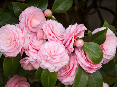 collections_camellias