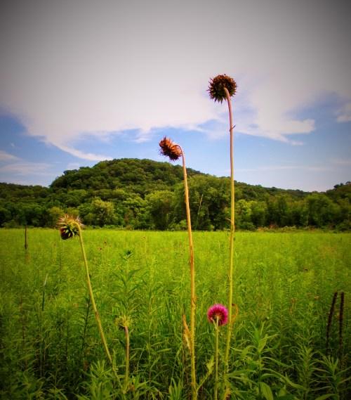Iowa Prairie Driftless | Iowa Herbalist