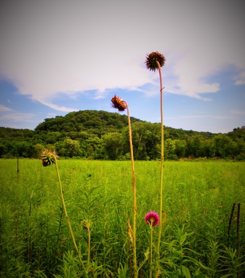 Iowa Prairie Driftless | Iowa Herbalist