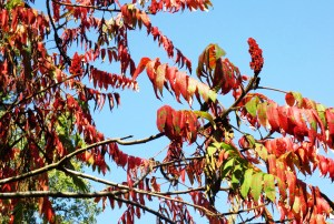 Sky View Sumac | Iowa Herbalist