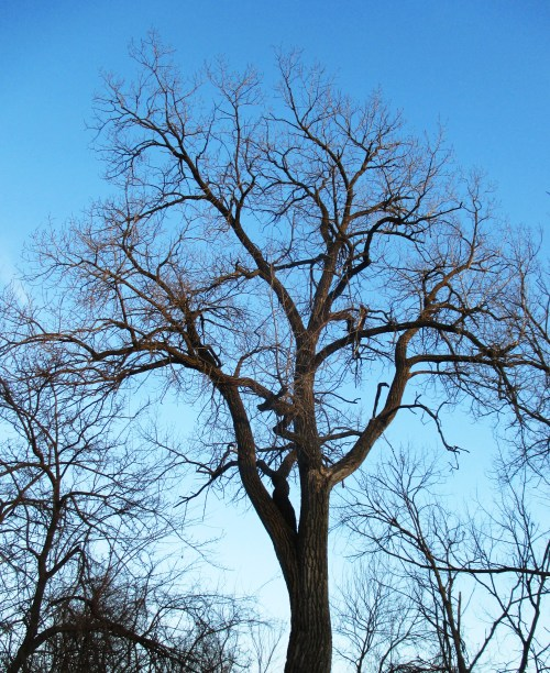 Cottonwood Tree | Iowa Herbalist