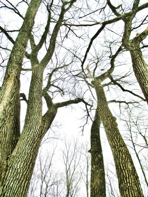 Cottonwoods in Winter | Iowa Herbalist