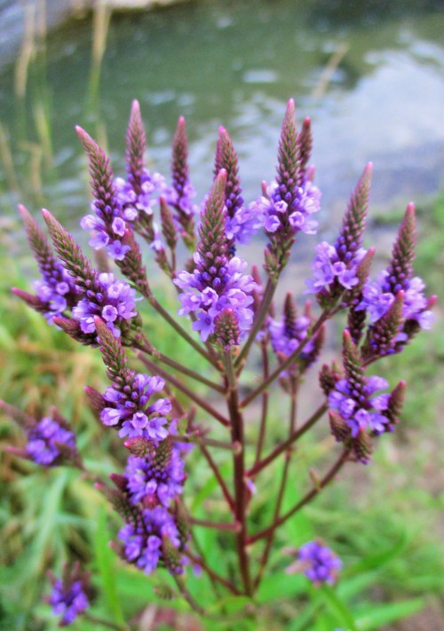 Blue Vervain by Creek | Iowa Herbalist