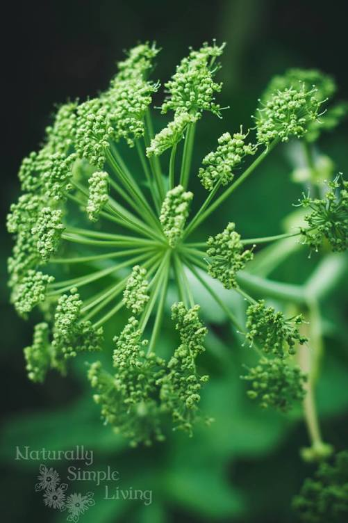 Angelica Flower | Iowa Herbalist