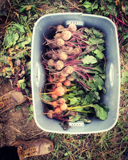 Harvested Beets | Jupiter Ridge Farm