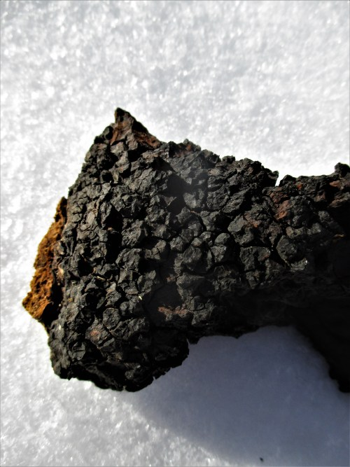 Chaga in Snow | Iowa Herbalist