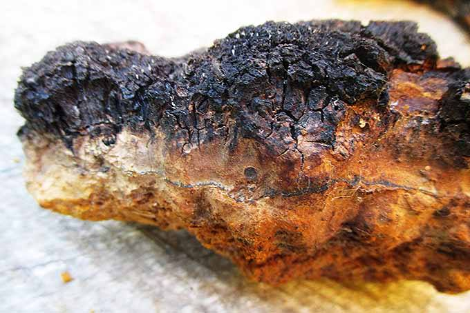 Chaga Layers Side View | Iowa Herbalist