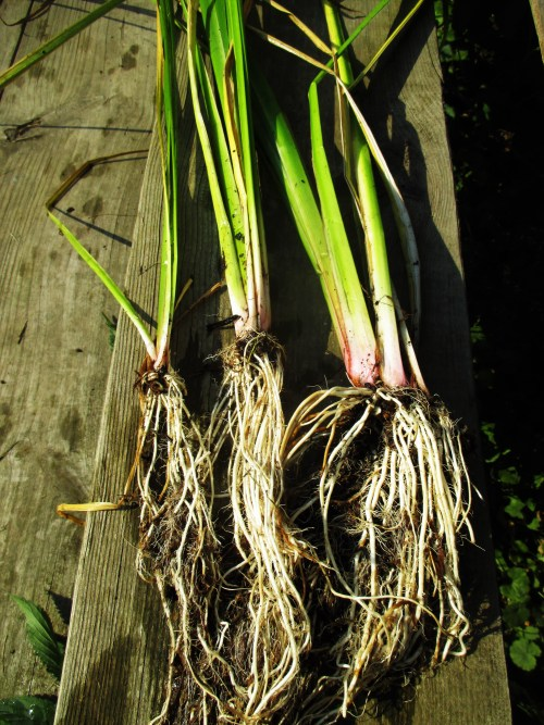 Calamus Roots | Iowa Herbalist
