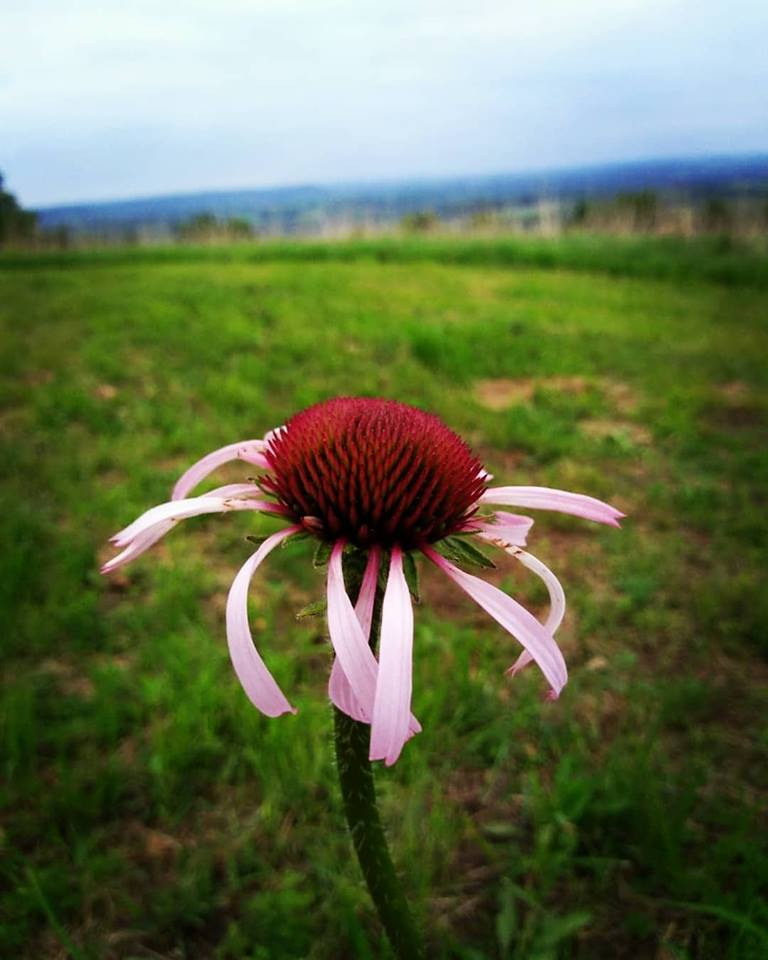 Echinacea at Jupiter Ridge | Iowa Herbalist