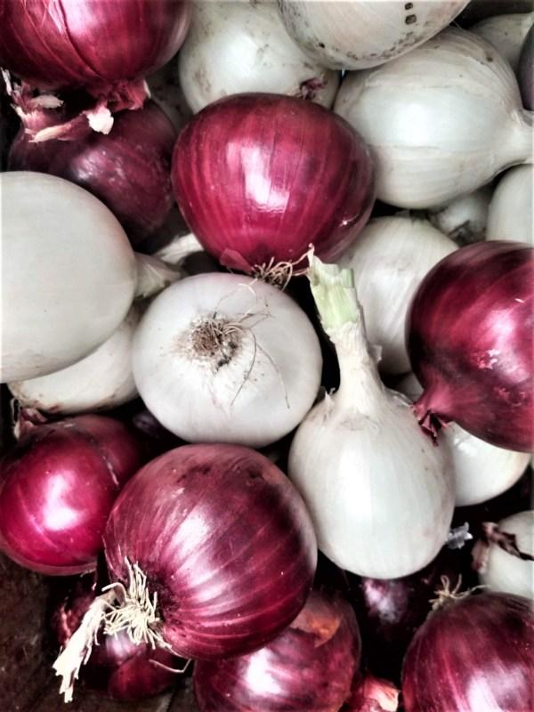 Red and White Onions | Iowa Herbalist