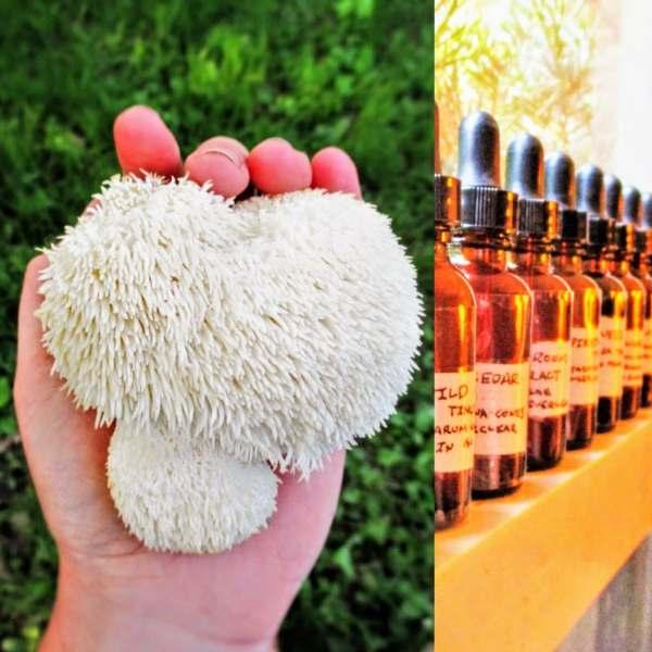Shop Online Lion's Mane Double Extract (Iowa Only) | Iowa Herbalist