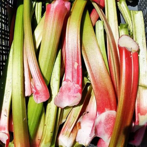 Blush Red Picked Rhubarb Stalks | Iowa Herbalist