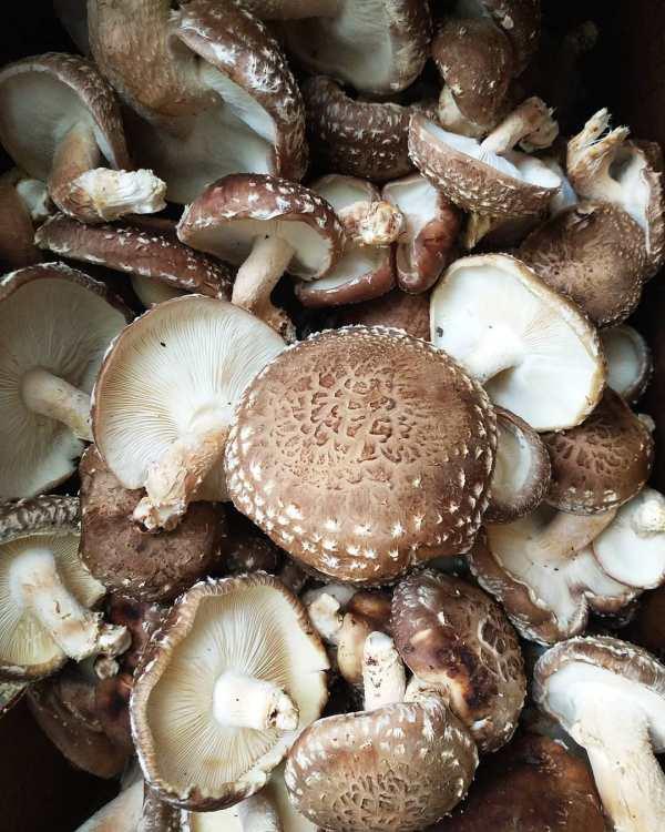 Shiitake Mushroom Delivery | Jupiter Ridge Farm