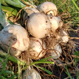Bunch Fresh Onions | Jupiter Ridge Farm