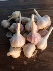 Garlic   Iowa Herbalist