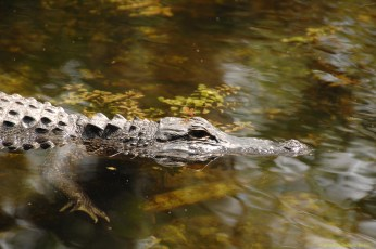 alligator-and-dragon-fly