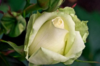 My White Rose