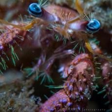 Bareye Hermit Crab, Dardanus fucosus