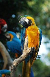 黃藍金剛鸚鵡 - 翔帥寵物生活館